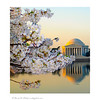 Jefferson Memorial and Cherry Blossoms, Washington, DC