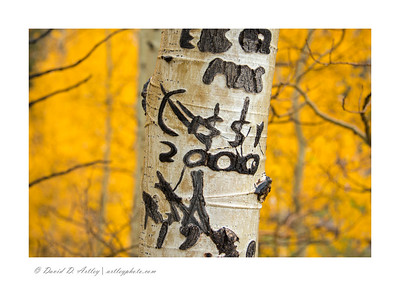 Graffiti Carvings in aspen tree, Conejos River Valley, CO