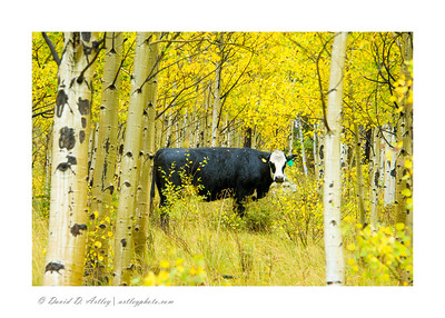 Cow in aspen, Conejos River Valley, CO
