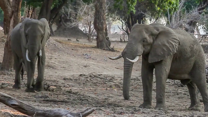 Elephants can move very fast when challenged.