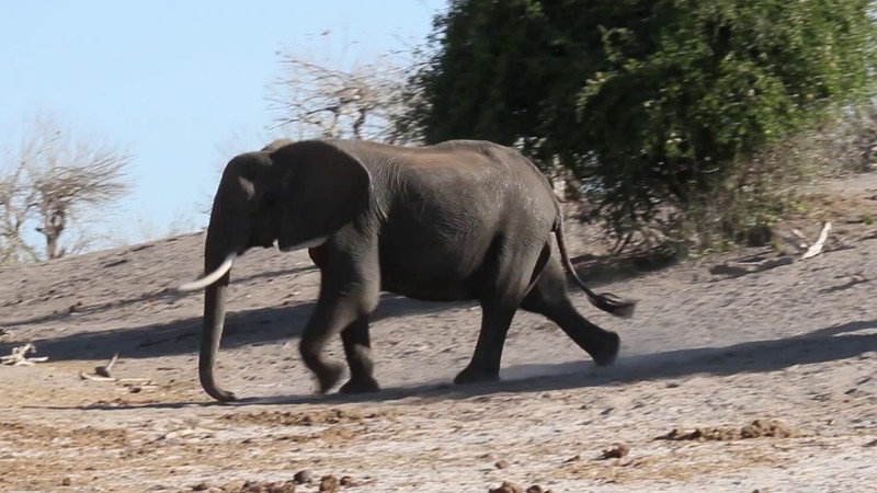 Elephants coming down the hill to drink.  Video taken along the Chobe river in Botswana, not Mana Pools.