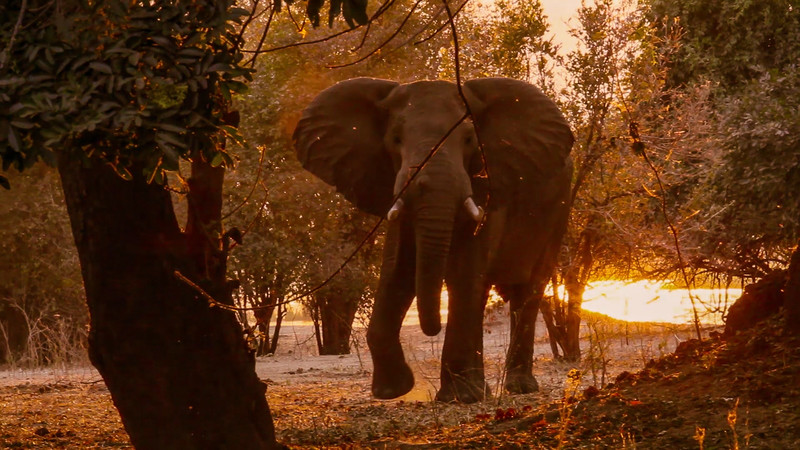 Elephant and insects at sunset.