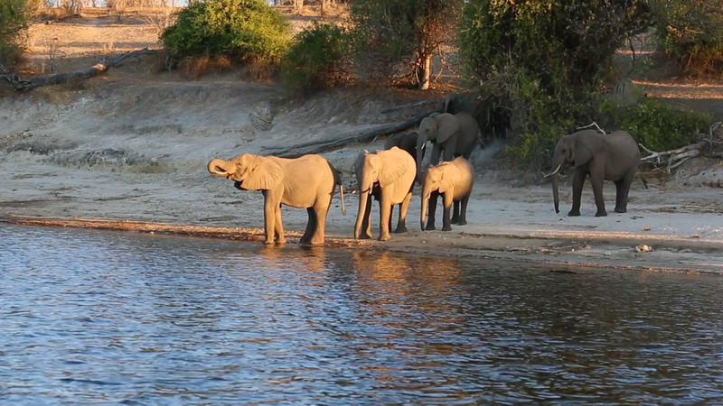 Elephants at waters edge at sunset.  Video taken along the Chobe river in Botswana, not Mana Pools.