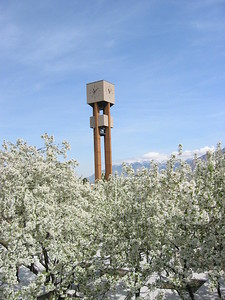 Blossoms and the Bell Tower