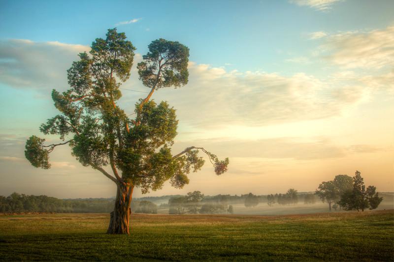 Tree in Manassas