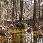 Manchester Cedar Swamp Preserve 28