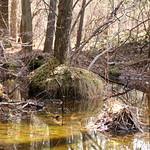 Manchester Cedar Swamp Preserve 26