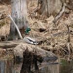 Manchester Cedar Swamp Preserve 52