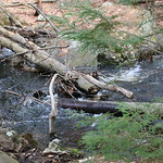 Manchester Cedar Swamp Preserve 41