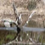 Manchester Cedar Swamp Preserve 56