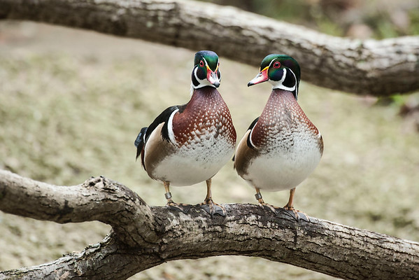 Mandarian ducks .. after this pair of Woodies ...