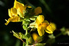 Mimulus guttatus (Golden monkeyflower)