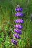 Lupinus albifrons var. Silver bush lupine