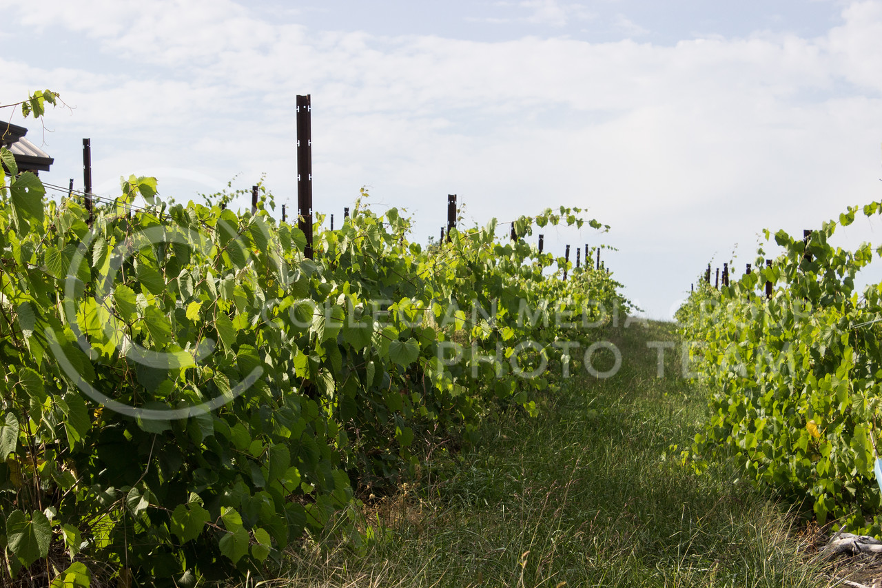 Grape vines grow on a hill at Liquid Art Winery and Estate. (Regan Tokos | Collegian Media Group)