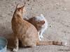 Maniken Sabot Kittens 9-14-7736