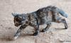 Maniken Sabot Kittens 9-14-7767