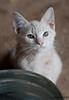 Maniken Sabot Kittens 9-14-7557