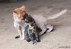 Maniken Sabot Kittens 9-14-7905