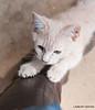 Maniken Sabot Kittens 9-14-7586