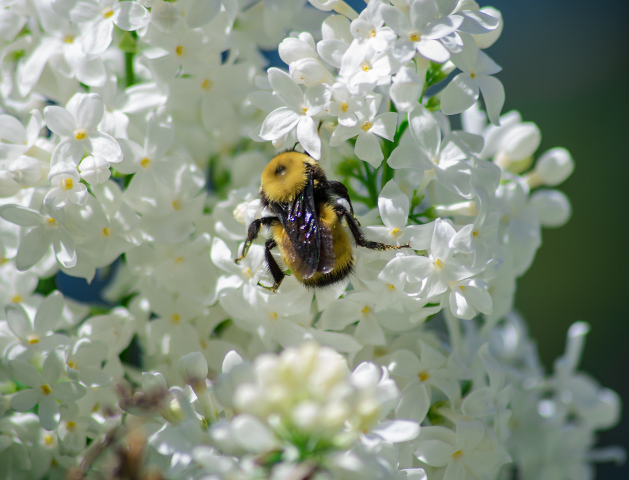 Bumble bee in the Lilac Garden
