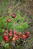 The carnivoous Pitcher Plant in the bogs of the Brokenhead Wetlands near Sacanterbury, Maniotba, Canada.