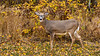 White tailed deer at Buffalo Point, Manitoba, Canada.