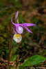 The Calypso bulbosa orchid in the Sandilands forest of southern Manitoba, Canada.
