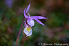 The Calypso bulbosa orchid in the Sandiland forest of southern Manitoba, Canada.