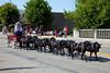 Minature horses in the Carman, Manitoba parade.