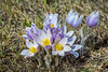 The prairie crocus blooming in spring near Plum Coulee, Manitoba, Canada.