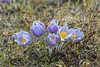 The Prairie Crocus (Anemone patens) in spring near Plum Coulee, Manitoba, Canada.