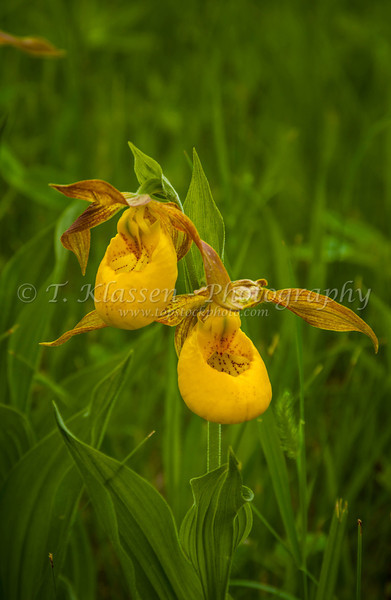 Manitoba wildflowers topstockphoto the yellow lady slipper wildflower in the bogs of rural manitoba canada mightylinksfo