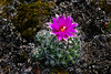 A pincushion cactus blooming in Spruce Woods Provincial Park, Manitoba, Canada.