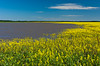 The 2005 Manitoba flood and a blooming canola field near Morris, Manitoba, Canada.