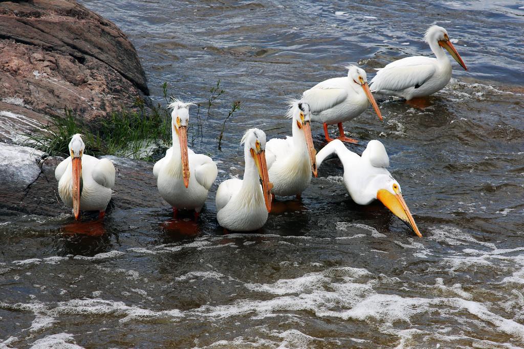 Seven Sisters Manitoba, pelicans