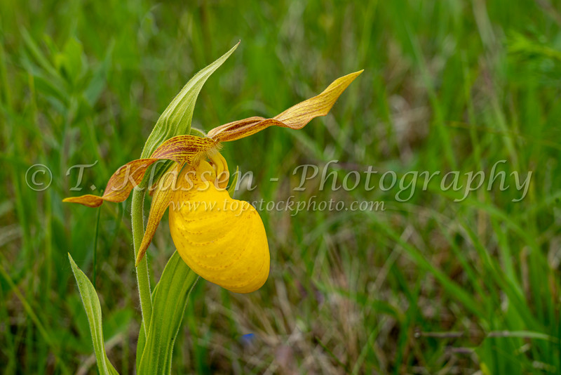 The large yellow Lady's Slipper blooming in the Tall Grass Prairie near Tolstoi, Manitoba, Canada.