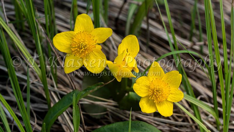 The Marsh marigold in the Woodridge Bog, near Woodridge, Manitoba, Canada.