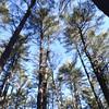 Towering trees reached into blue February skies as members of Hike Beautiful Billerica walked below. Photo by Mary Leach
