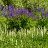 Lupines Over Rein Orchids