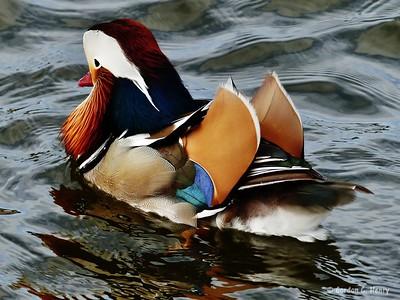 Manny the Mandarin Duck