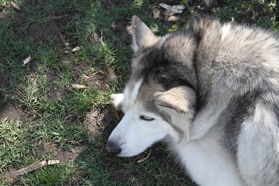 Blue relaxing in his yard