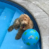 Dyson the Pool Dog