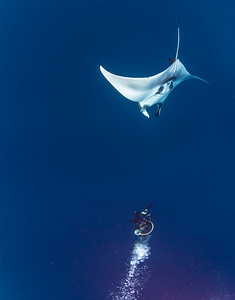 Diver Dancing With Giant Chevron Manta