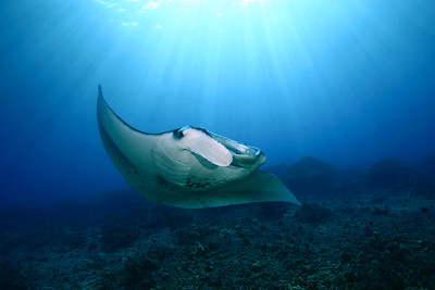 Manta ray, manta birostris,Big Island, Hawaii, Pacific