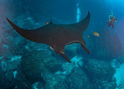 Giant Black  Manta and Diver
