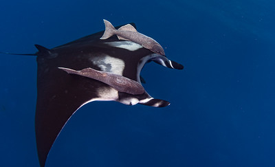 Giant Chevron Manta with Hitch Hikers