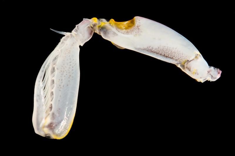 Squilla empusa raptorial appendage
