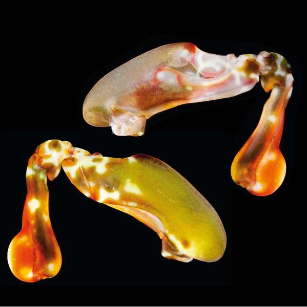 Raptorial appendages of the peacock mantis shrimp, Odontodactylus scyllarus