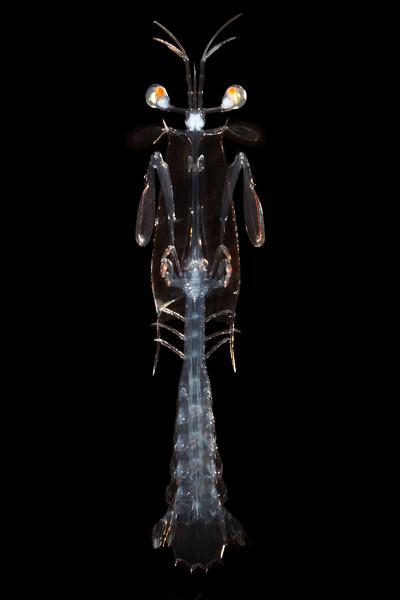 Larval Mantis Shrimp, Alima pacifica