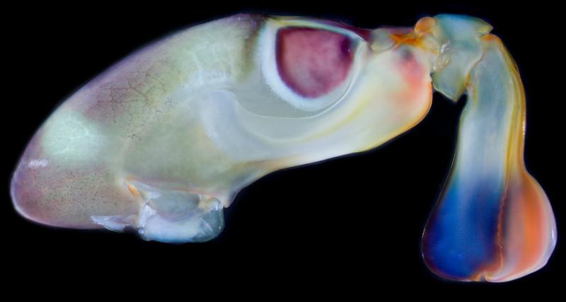 Gonodactylus smithii raptorial appendage